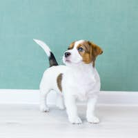 A beautiful white Jack Russell Terrier puppy is standing, looking up, background of a green wall.