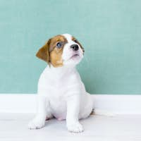 A beautiful white puppy of Jack Russell Terrier sits, looking up, the background of a green wall.