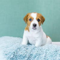 A cute Jack Russell Terrier puppy sits on a blue fluffy pillow, looks at camera, stuck out tongue.