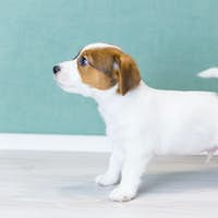 A beautiful white Jack Russell puppy with stands sideways in a rack, looks forward, wags its tail.