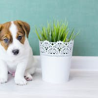 Beautiful white puppy Jack Russell with brown ears sits and looks at camera.