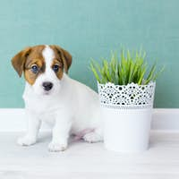 Beautiful white puppy Jack Russell with brown ears sits and looks at camera. Copy space