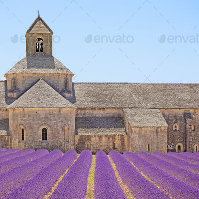 Senanque Abbey blooming lavender flowers detail. Gordes, Luberon, Provence, France.