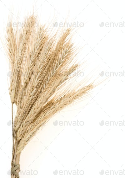 ear of rye bundle on white