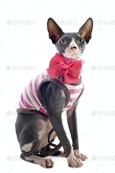 dressed Sphynx Cat
