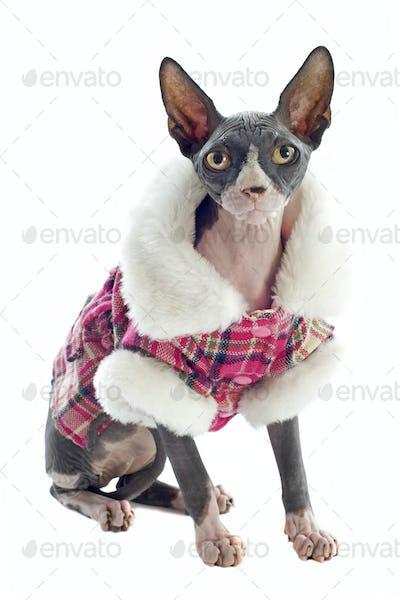Sphynx Cat dressed