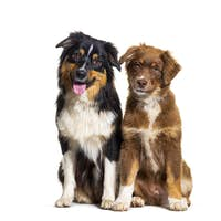 two Australian shepherd dogs sitting together, isolated on white