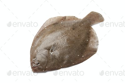Whole single Brill fish
