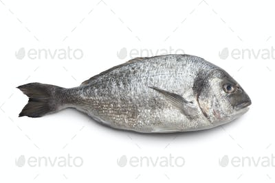 Whole single Dorade fish