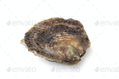 Single closed fresh European flat oyster