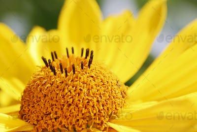Yellow Marguerite Flower