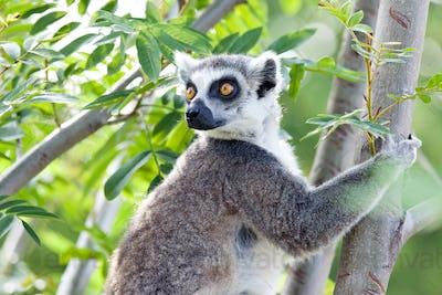 Lemur of Madagascar
