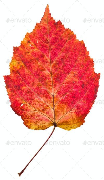 one autumn red aspen leaf