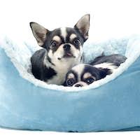 chihuahuas and dog bed