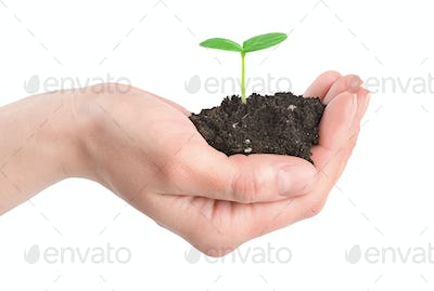 Human hands and young plant isolated