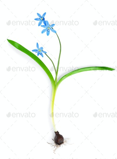 Snowdrop blue isolated