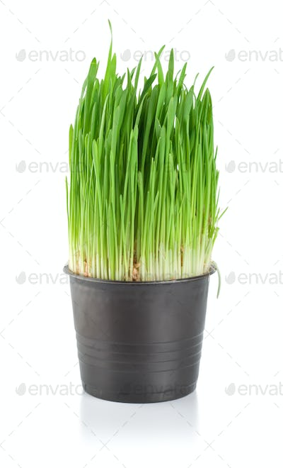 Green grass in a pot