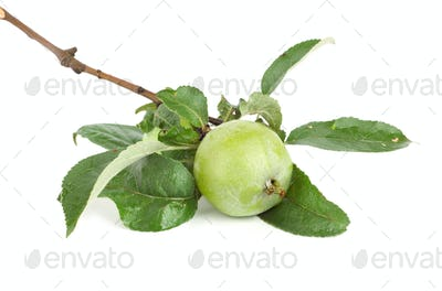 Branch of apple