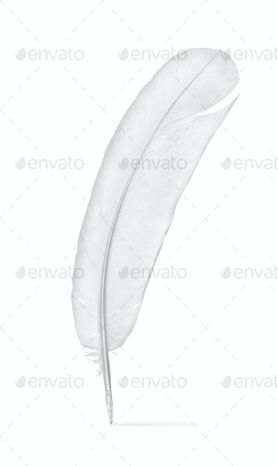 Feather of a pigeon