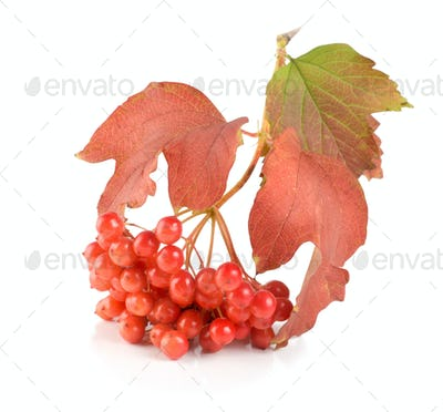 Ripe viburnum isolated