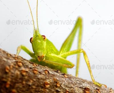 katydid preening