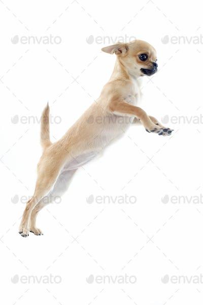 jumping puppy chihuahua