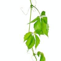 Grape vine leaves