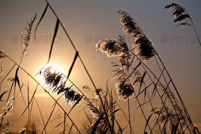 cattail plants in back-light
