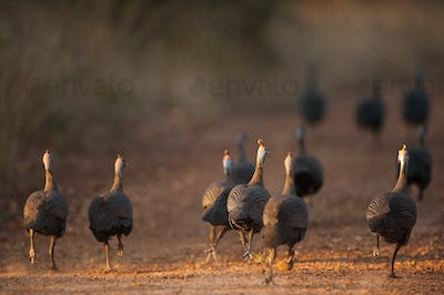 Helmeted guineafowl running away