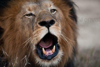Lion barking