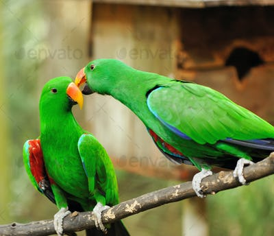 Couple of green eclectus parrots