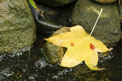 Autumnal yellow leaf