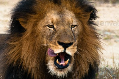 Lion licking lips
