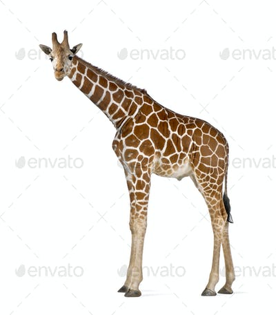 Somali Giraffe, commonly known as Reticulated Giraffe, Giraffa camelopardalis reticulata