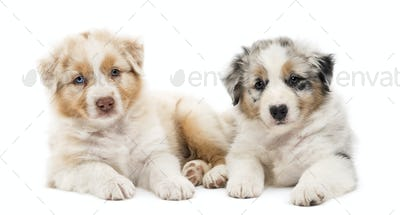 Two Australian Shepherd puppies, 6 weeks old, lying against each other against white background