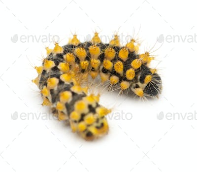 Caterpillar of Giant Peacock Moth, 15 days old, Saturnia pyri, against white background
