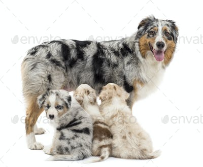 Mother Australian shepherd with three puppies, 6 weeks old