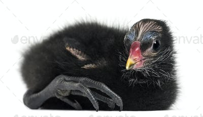 Common Moorhen lying, 4 days old against white background
