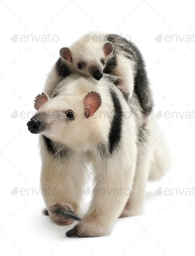 Tamandua, Tamandua tetradactyla mother, 3 years old, and child, 3 months old