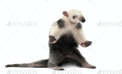 Tamandua, Tamandua tetradactyla, 3 months old, standing against white background