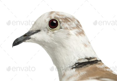 African Collared Dove, Streptopelia roseogrisea, against white background