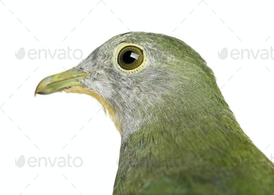 Black-naped Fruit Dove, Ptilinopus melanospilus, 2.5 months old against white background