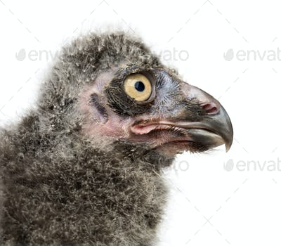 Snowy Owl chick, Bubo scandiacus, 19 days old against white background