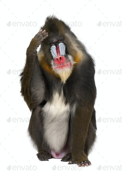Mandrill scratching head, Mandrillus sphinx, 22 years old, primate of the Old World monkey