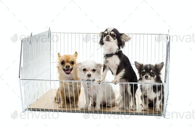 Chihuahuas in cage against white background