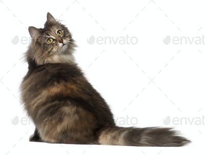 Norwegian Forest Cat, 1 and a half years old, sitting against white background