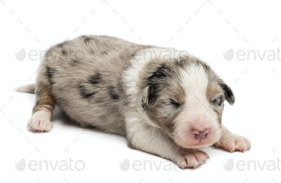 Australian Shepherd puppy, 10 days old, lying against white background