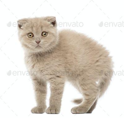 Portrait of Scottish Fold Kitten, 9 weeks old, against white background
