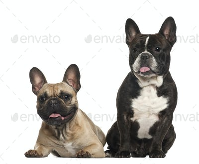 French bulldogs, 18 months old, sitting against white background