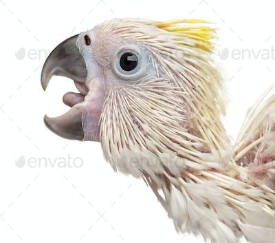 Sulphur-crested Cockatoo calling, Cacatua galerita, 35 days old against white background